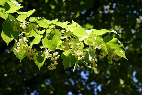 Lime_tree